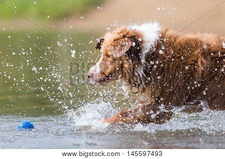 Australian Shepherd Catches A Ball In A River