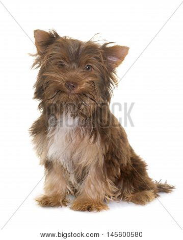 chocolate puppy yorkshire terrier in front of white background