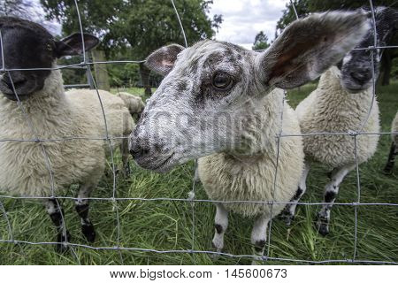 Possibly the world's friendliest sheep. These curious farm animals were discovered on a UK countryside holiday. Focus is on the foreground head poking to say hello.