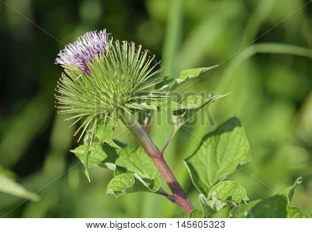 Greater Burdock - Arctium lappa Large Bur Plant