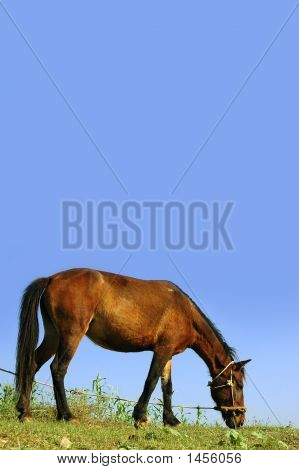 Horse on leash feeding on grass against blue sky poster