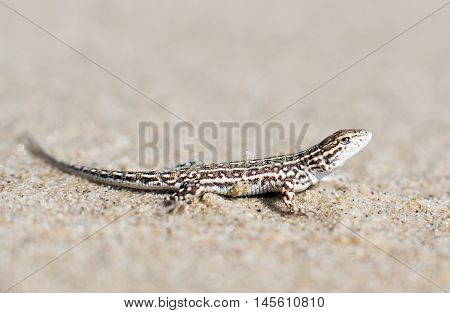 small lizard on a sand reptiles, rock