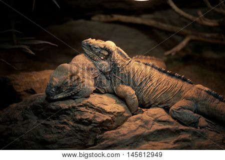 Large lizards sleeping togather on the rocks