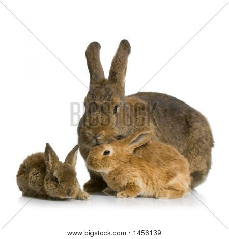 Mother Rabbit