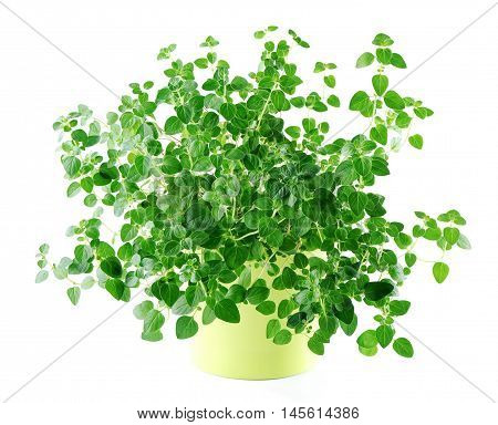 (Origanum vulgare) oregano in yellow pot isolated on white  background