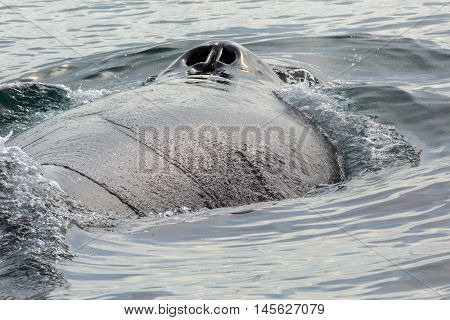 Nostrils on the back of humpback whale in the Pacific Ocean. Water area near Kamchatka Peninsula.