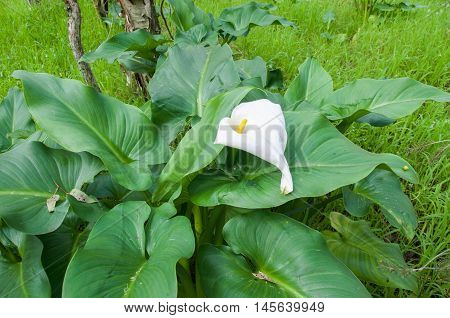 Heart-shaped calla lily wildflower with lush green leaves in natural bushland reserve in Bibra Lake, Western Australia.
