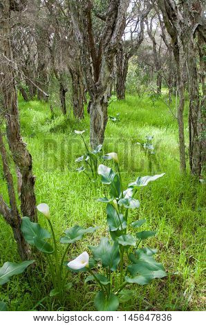 Lush forest with paperbark trees and wild calla lilies in a nature reserve in Bibra Lake, Western Australia