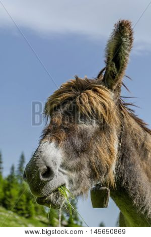 Donkey eating grass in the mountains close up portrait