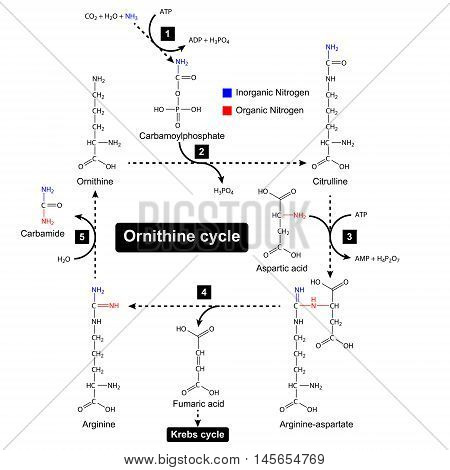 Ornithine cycle with color focus of nitrogen sources urea cycle metabolic formation 2d illustration vector isolated on white background eps 8