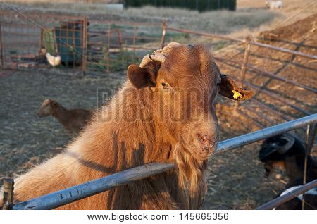 Goat resting in a a fold in Ciudad Real Province, Spain