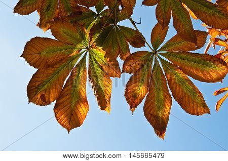 Leaves of horse chestnut tree, Aesculus hippocastanum