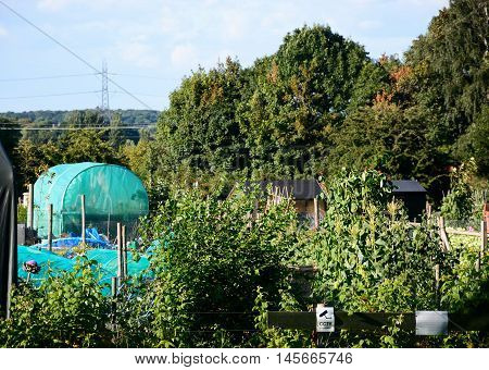 ARMITAGE, UNITED KINGDOM - AUGUST 8, 2016 - Greenhouses and vegetable crops on allotments Armitage Staffordshire England UK Western Europe, August 8, 2016.
