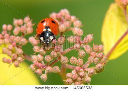 Ladybug crawling on a small decorative flowers bush