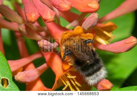 Bumblebee collects nectar from flowers Honeysuckle Brown