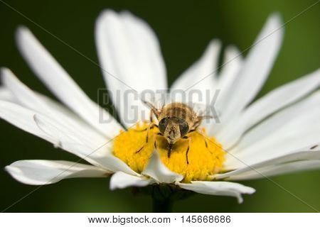 A macro shot of a Hoverfly sits on a camomile
