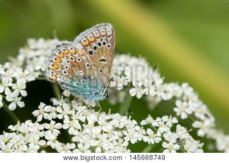 Common Blue (Polyommatus icarus) on white flowers