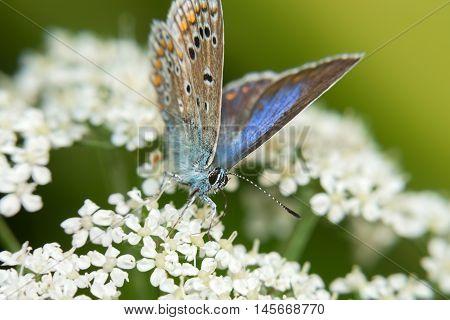 Common Blue (Polyommatus icarus) on white flowers