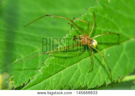 The yellow spider sits on green leaf