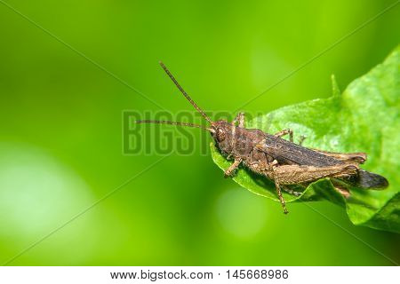 Small grasshopper sitting on a green leaf of grass