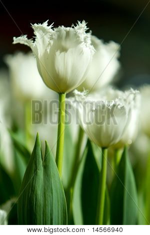 Beautiful white tulip flowers during easter season