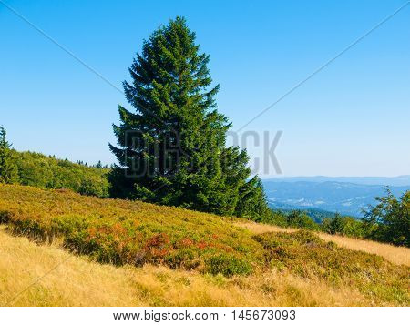 Summer mountain landscape with yellow grass, green spruce and clear blue sky, Beskydy mountains, Czech Republic