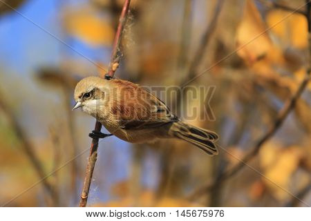 European penduline tit among gold leaves, birds, unique birds, beautiful colors, autumn, autumn leaves, golden color