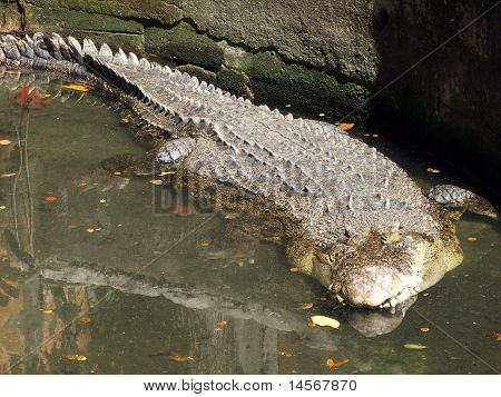 Crocodile submerged in a pond