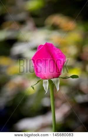 Pink roses,beautiful pink roses blooming in the garden in autumn