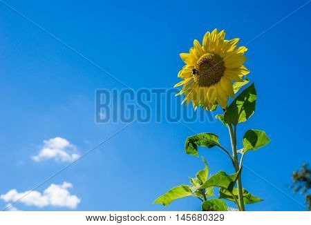 Bee on the sunflower and sucking nectar for honey production