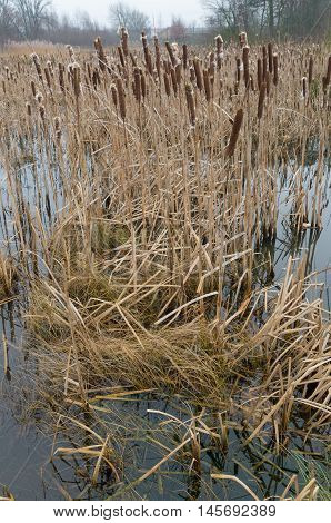 swamp with blown cattails in winter time