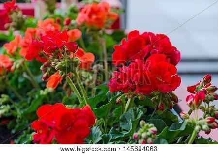 Red garden geranium flowers in pot close up shot / geranium flowers. pelargonium