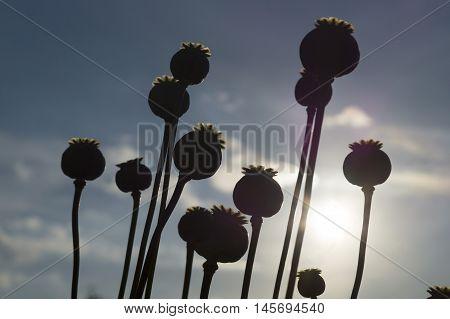 Poppy Flower Capsule. Long Dry Stalk Of Poppy Seed  Waiting For Harvesting