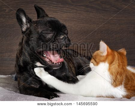 Small white-and-red cat embraces a large black dog's face. The dog yawns widely