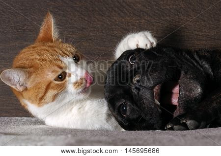 Small white-and-red cat and a huge black dog bulldog with a big mouth. Cat scratch dog claws pink tongue. Dog scared.