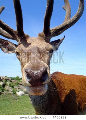 Humorous Stag Head