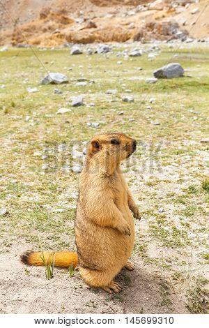 Marmot in Pangong lake area Leh Ladakh India