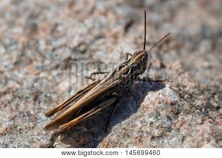 Closeup shot of brown grasshopper with long tentacles.