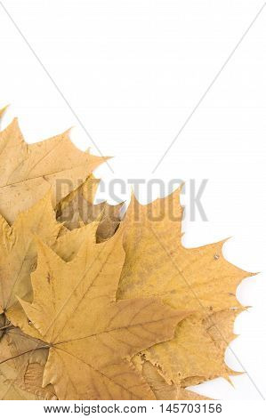 Autumn maple leaves in the form of frames. Isolated on a white background.