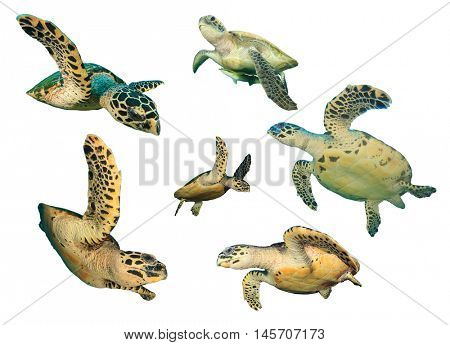 Isolated Turtles. Sea Turtles on white background. Hawksbill Turtle cutout. Green Turtle