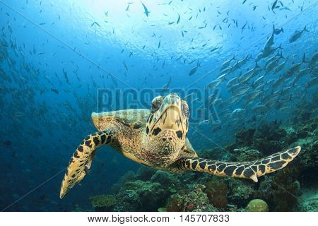 Hawksbill Turtle. Sea Turtle. Coral reef with fish in background.