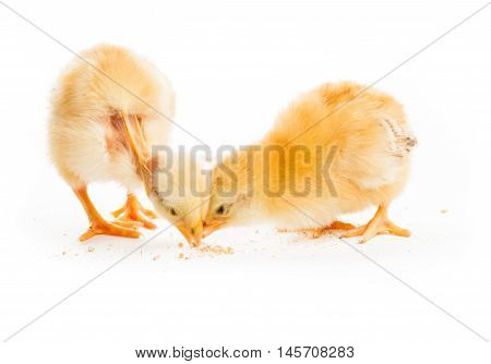 The competition concept - two various chicks peck millet, isolated on white. Struggle for existence