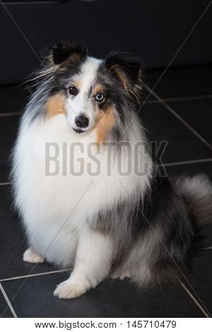 Beautiful And A Very Cute Shetland Sheepdog
