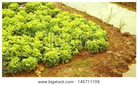Planting lettuce with a ditches around it crop photo