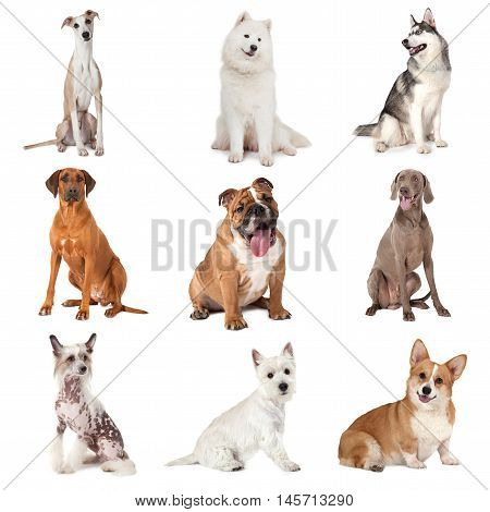 Set of common dogs of different breeds isolated on white background