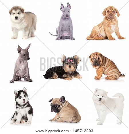 Group of puppy dogs of various breeds isolated on white background
