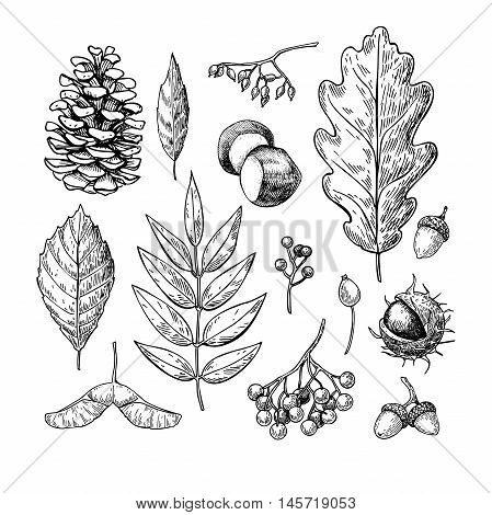 Autumn vector set with leaves berries fir cones nuts mushrooms and acorns. Detailed forest botanical elements for decoration. Vintage fall seasonal decor. Oak maple chestnut leaf drawing.