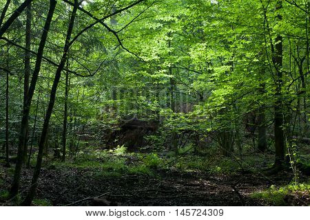 Dark shady deciduous stand in summer noon, Bialowieza Forest, Poland, Europe