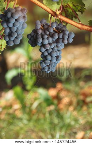 Cabernet Franc grapes growing in a vineyard at sunset time. Vintage toned image, selective focus, blank space