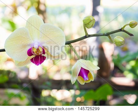 Pale yellow orchid blossom on vine with unopened bud